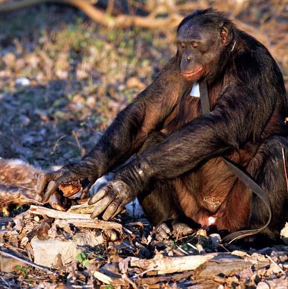 Γνωρίστε τον χιμπατζή που μαγειρεύει (11)