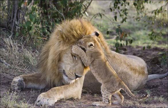 Λιονταράκια 7 μηνών συναντούν τον πατέρα τους για πρώτη φορά (1)