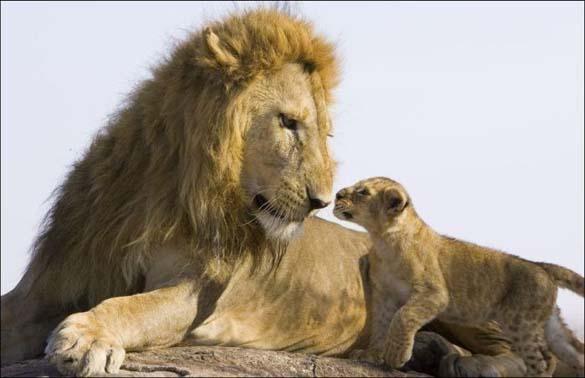 Λιονταράκια 7 μηνών συναντούν τον πατέρα τους για πρώτη φορά (2)