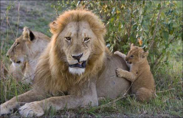 Λιονταράκια 7 μηνών συναντούν τον πατέρα τους για πρώτη φορά (4)