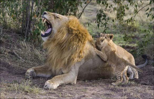 Λιονταράκια 7 μηνών συναντούν τον πατέρα τους για πρώτη φορά (5)