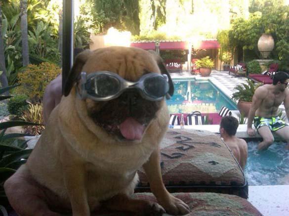 Η μεγάλη ζωή του Winston του Pug (11)