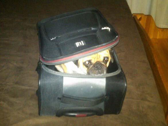 Η μεγάλη ζωή του Winston του Pug (14)