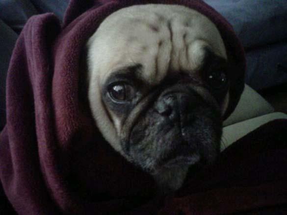Η μεγάλη ζωή του Winston του Pug (19)