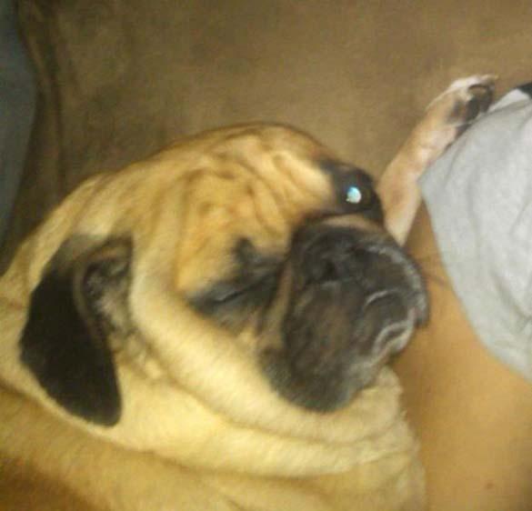 Η μεγάλη ζωή του Winston του Pug (21)