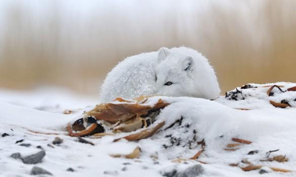 Λευκή αλεπού | Φωτογραφία της ημέρας