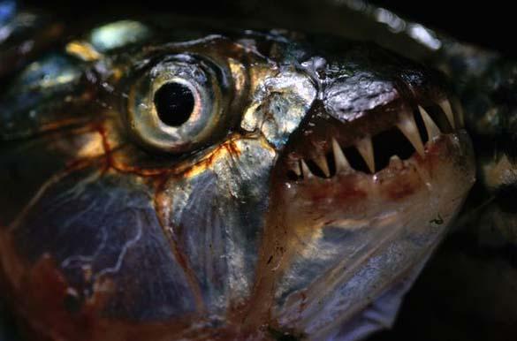 Τα πιο τρομακτικά ζώα του γλυκού νερού (11)