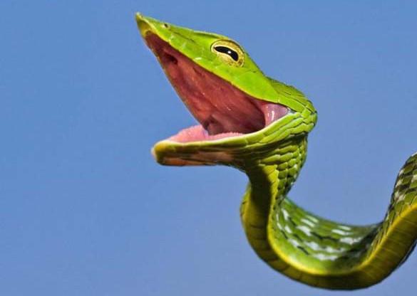 Χαμογελαστό φίδι (1)