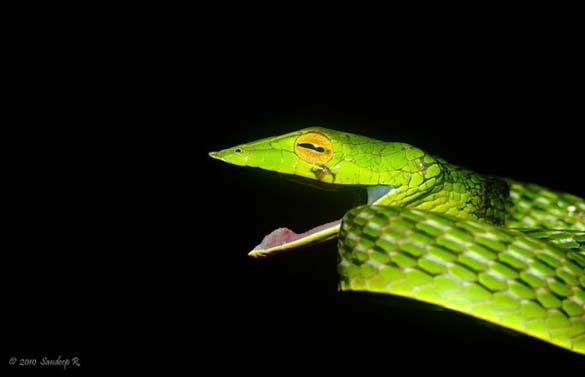 Χαμογελαστό φίδι (2)