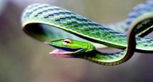 Green Vine Snake: Το χαμογελαστό φίδι
