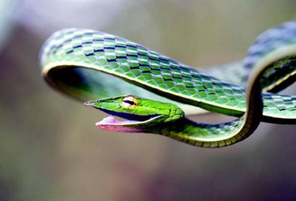 Χαμογελαστό φίδι (3)