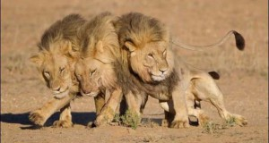 Τρία λιοντάρια μόλις βγήκαν από το bar…