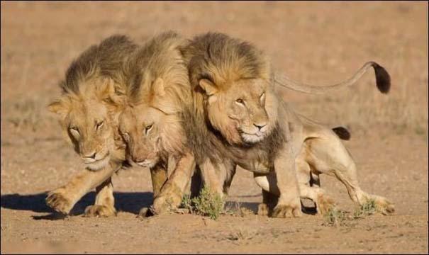 Τρία λιοντάρια μόλις βγήκαν από το bar... (1)