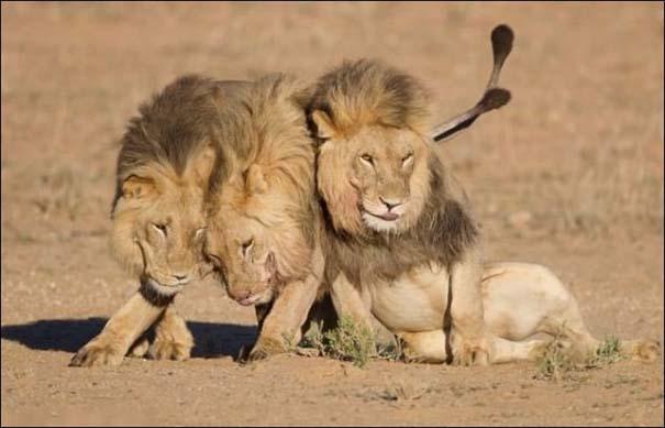 Τρία λιοντάρια μόλις βγήκαν από το bar... (2)