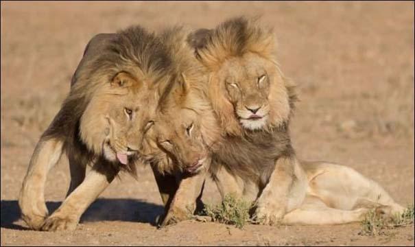 Τρία λιοντάρια μόλις βγήκαν από το bar... (3)