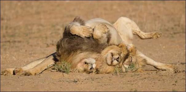 Τρία λιοντάρια μόλις βγήκαν από το bar... (4)