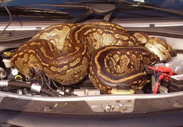 Απίστευτο εύρημα κάτω από το καπό αυτοκινήτου (1)