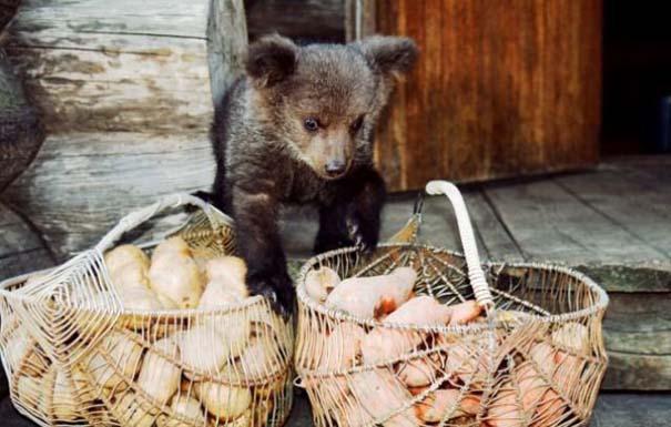 Γυναίκα από τη Λετονία μεγαλώνει αρκούδα μαζί με τα παιδιά της (19)