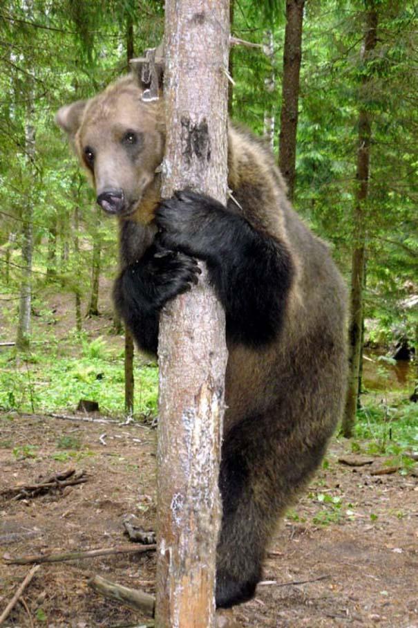 Γυναίκα από τη Λετονία μεγαλώνει αρκούδα μαζί με τα παιδιά της (22)