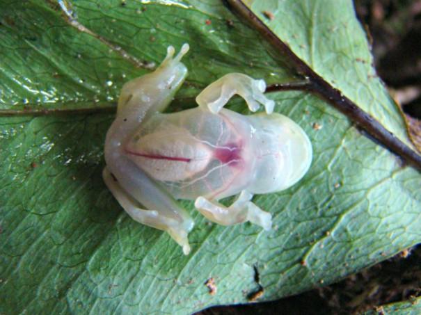Διάφανος βάτραχος | Φωτογραφία της ημέρας