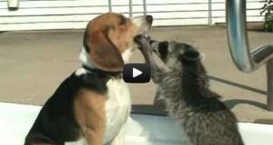Ρακούν κάνει οδοντιατρικό έλεγχο σε σκύλο (Video)