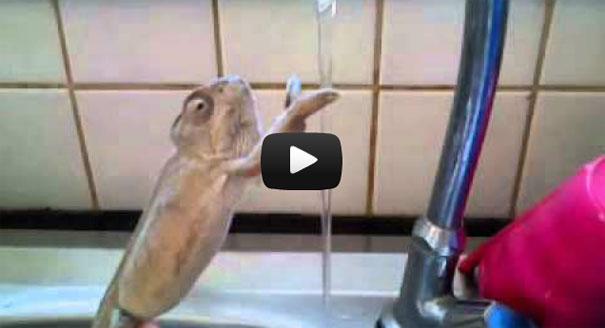 Χαμαιλέοντας πλένει τα χέρια του στο νεροχύτη