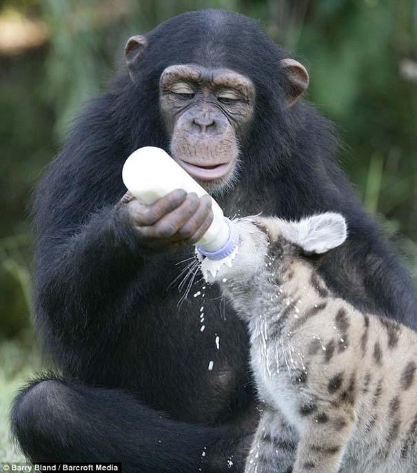 Ζώα που φροντίζουν άλλα ζώα (2)