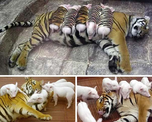 Ζώα που φροντίζουν άλλα ζώα (3)