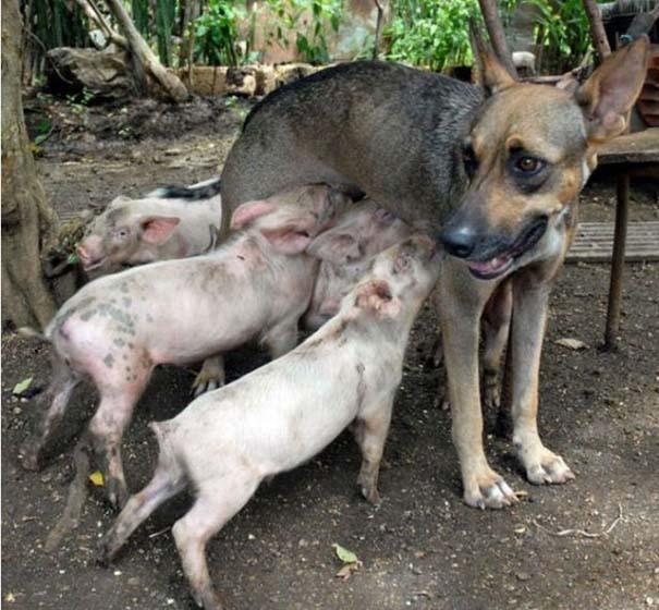 Ζώα που φροντίζουν άλλα ζώα (6)