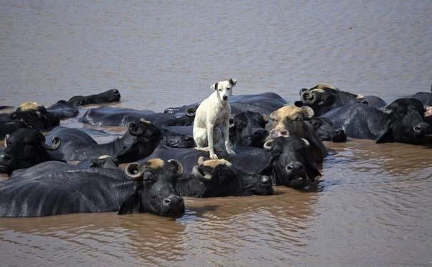 Ζώα που φροντίζουν άλλα ζώα (7)