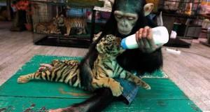 15 ζώα που ανέλαβαν την φροντίδα άλλων ζώων