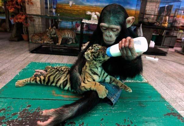 Ζώα που φροντίζουν άλλα ζώα (9)