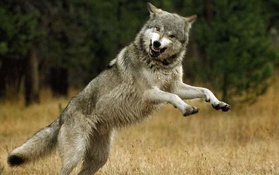 Ζώντας με τους λύκους (10)