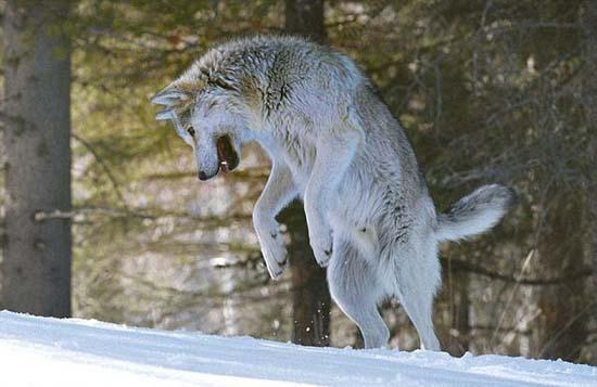 Ζώντας με τους λύκους (11)