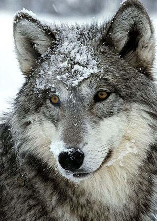 Ζώντας με τους λύκους (16)