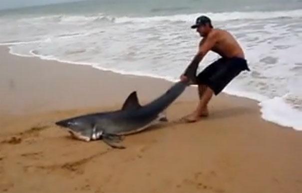 Άνδρας τραβάει Λευκό Καρχαρία πίσω στη θάλασσα με τα χέρια του