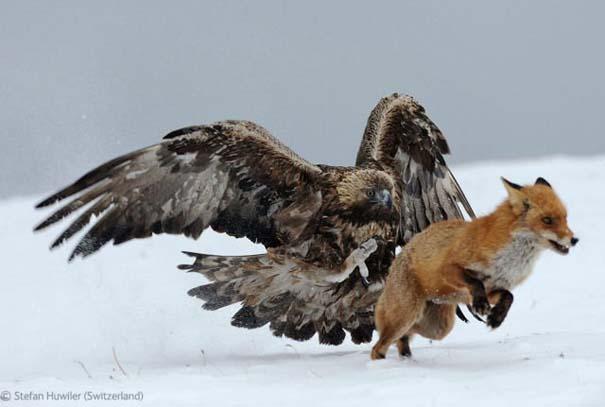 Οι καλύτερες φωτογραφίες άγριας φύσης για το 2012 (31)