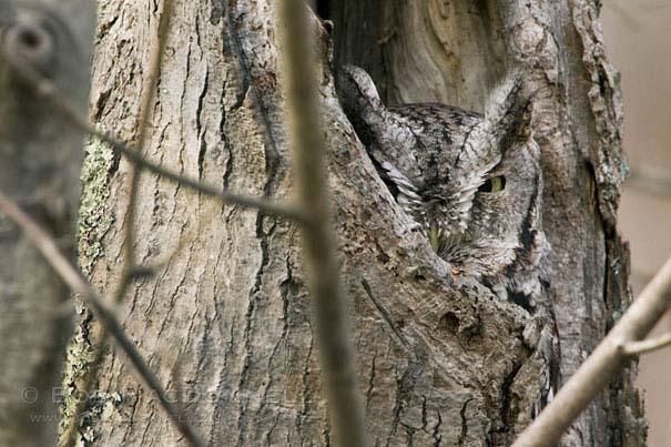 Κουκουβάγιες: Οι σπεσιαλίστες του καμουφλάζ (3)