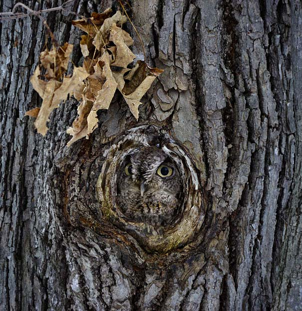 Κουκουβάγιες: Οι σπεσιαλίστες του καμουφλάζ (4)