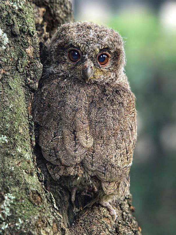 Κουκουβάγιες: Οι σπεσιαλίστες του καμουφλάζ (5)
