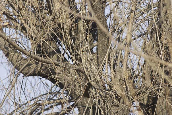 Κουκουβάγιες: Οι σπεσιαλίστες του καμουφλάζ (7)