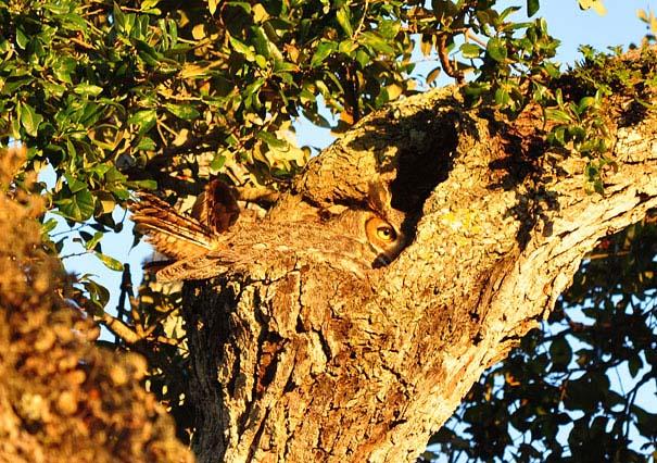 Κουκουβάγιες: Οι σπεσιαλίστες του καμουφλάζ (8)