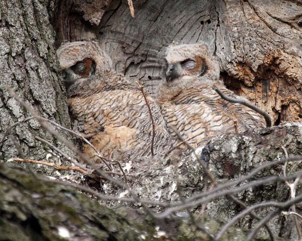 Κουκουβάγιες: Οι σπεσιαλίστες του καμουφλάζ (11)