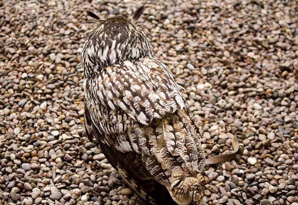 Κουκουβάγιες: Οι σπεσιαλίστες του καμουφλάζ (13)