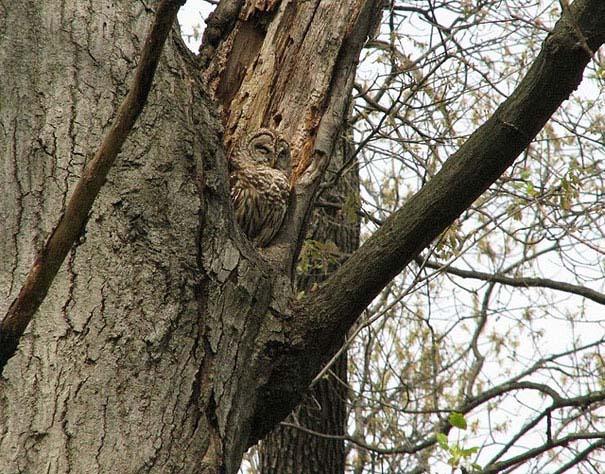 Κουκουβάγιες: Οι σπεσιαλίστες του καμουφλάζ (15)