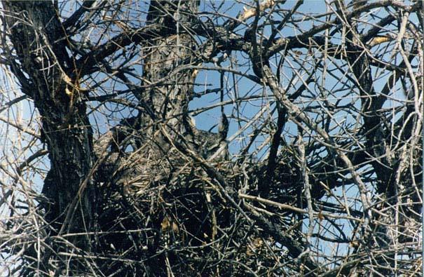 Κουκουβάγιες: Οι σπεσιαλίστες του καμουφλάζ (16)