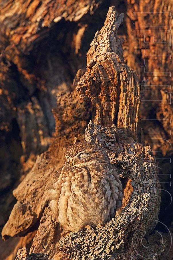 Κουκουβάγιες: Οι σπεσιαλίστες του καμουφλάζ (19)