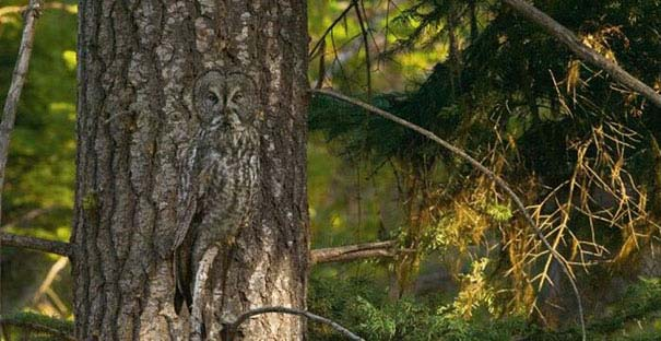 Κουκουβάγιες: Οι σπεσιαλίστες του καμουφλάζ (21)