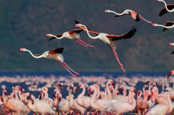 Nakuru: Η λίμνη με τα εκατομμύρια Flamingos (7)