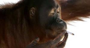 Θηλυκός ουρακοτάγκος έκοψε το κάπνισμα επειδή έγινε μητέρα